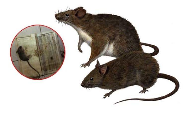 dịch vụ diệt chuột đà nẫng